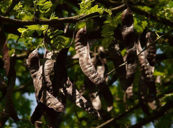arbre caroube
